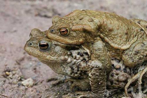 Оргии? Да ради бога!.. Самец обыкновенной садовой жабы так озабочен продолжением своей династии, что регулярно занимается сексом с не меньше чем тремя самками... Исключительно ради потомства, - ничего личного!..